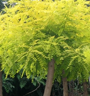 国槐花序长而美丽秋叶黄红色