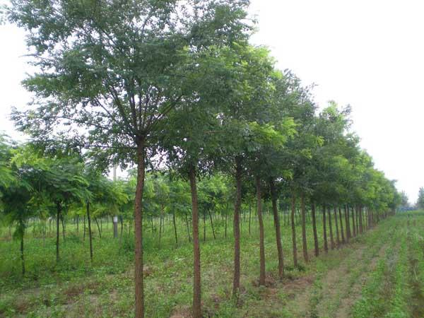 国槐落叶稀常绿冬芽大型花住细长