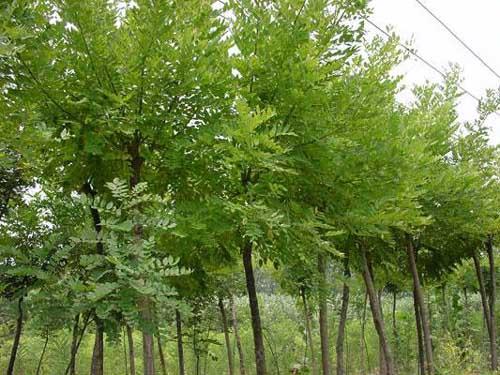 国槐圆锥花序生树干通直树皮灰褐色