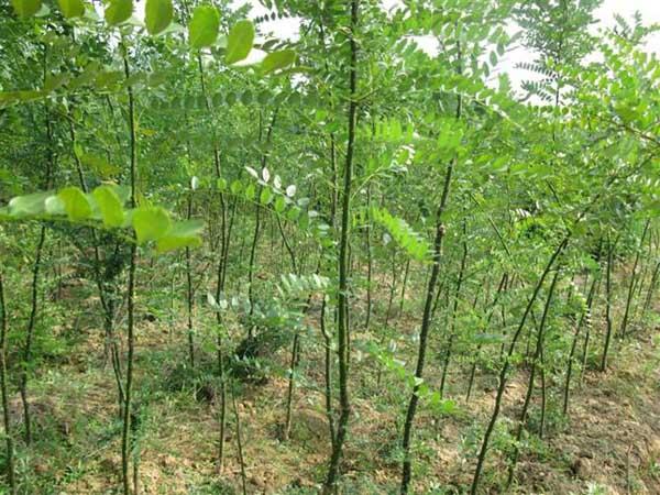 国槐在生长物质的作用下生长成根