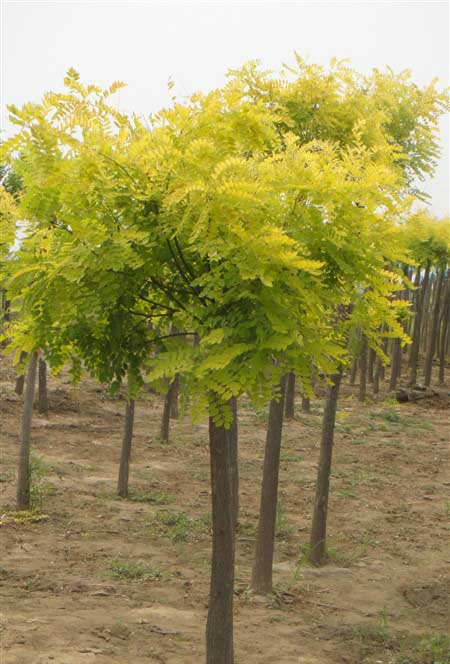 国槐种子休眠催芽方法收到较好效果