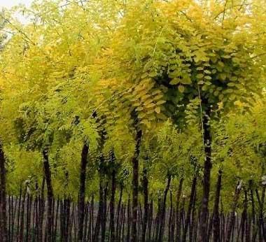 国槐结合施足基肥以改良土壤