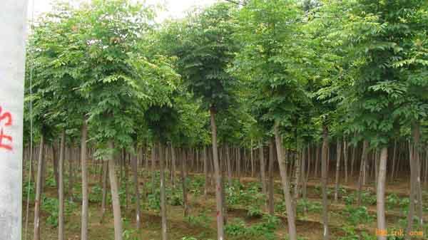 国槐嫁接采取接穗生长健壮母树