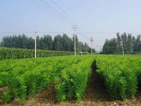 国槐移植增强光合作用健壮生长