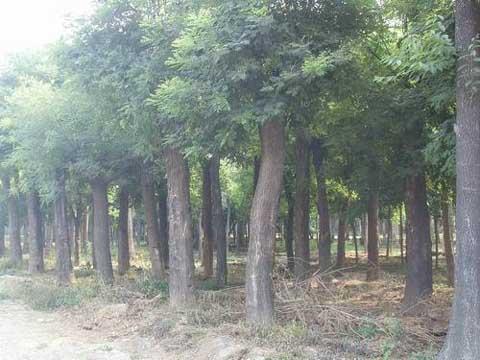 国槐移植起掘搬运和种植三道环节