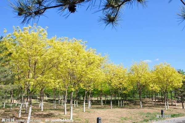 国槐优良的栽培品种生于深厚土壤
