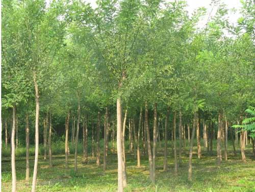 国槐盆栽培养育苗可增多切花校数