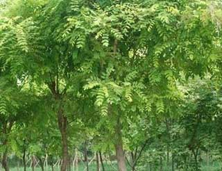 国槐植物植株高大适宜布置水边