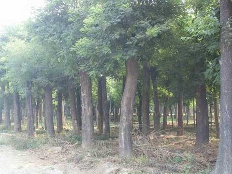 国槐气候土质条件生长发育关系