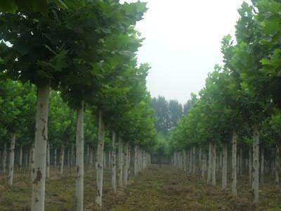 国槐利于大苗移植成活及恢复生长