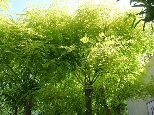 国槐芽片颜色轻触动接芽的叶柄
