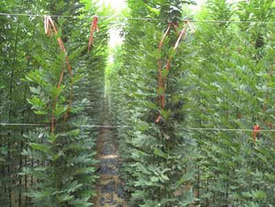 国槐树苗木培育育苗标准化程度