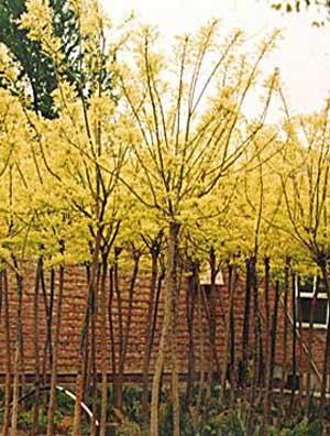 国槐生长常绿树种苗木移梢时