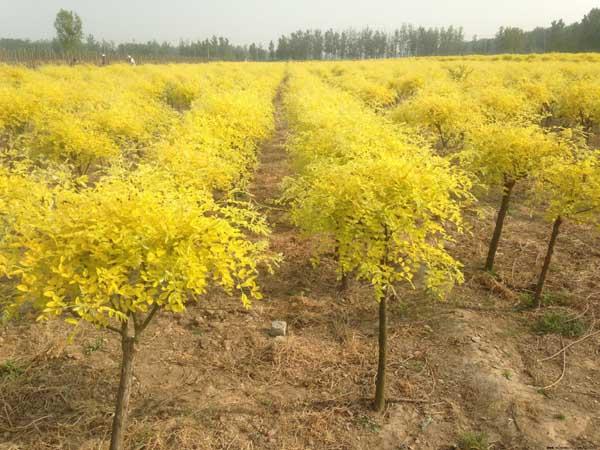 国槐移植苗木植技术主根生长