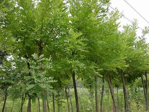 国槐生长造成偏根又便于起苗