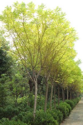国槐生长绿地养护以达到均衡树势