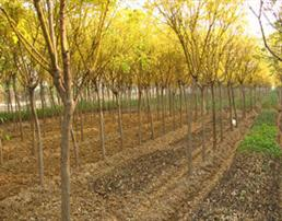 国槐砧木接嫁接部位枝叶要及时剪去