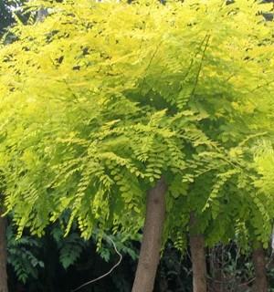 国槐温带树种稍耐阴适生于湿润土壤