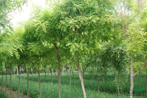 国槐苗木快速生长培育树体骨架
