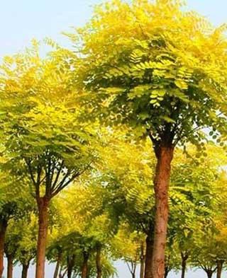 国槐叶互生常聚集于枝端顶端短渐尖