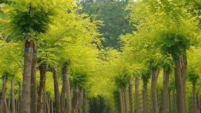 国槐小枝光滑常年金黄色