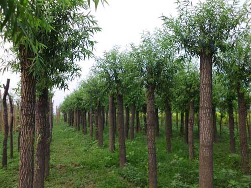 国槐植物养护管理改善土壤保肥保水性