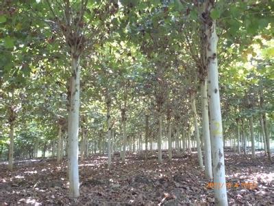 国槐植物生长发育影响过密枝