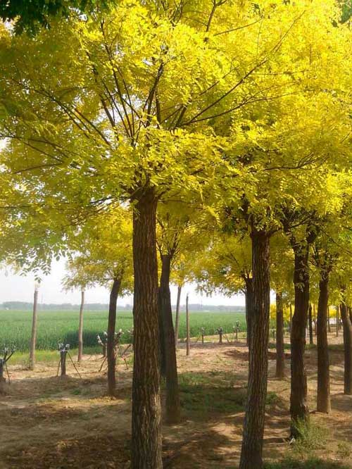 国槐枝叶密集萌葵力强树种