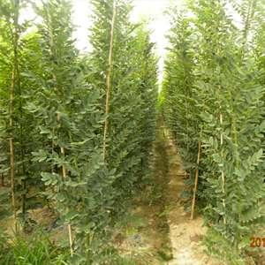 国槐苗木生产各种苗木的产量与质量