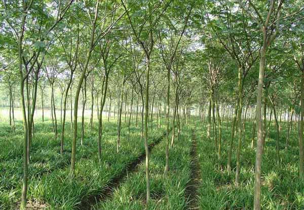 国槐观赏绿化苗木生产实用技术