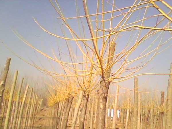 国槐使土壤与苗根紧密结合