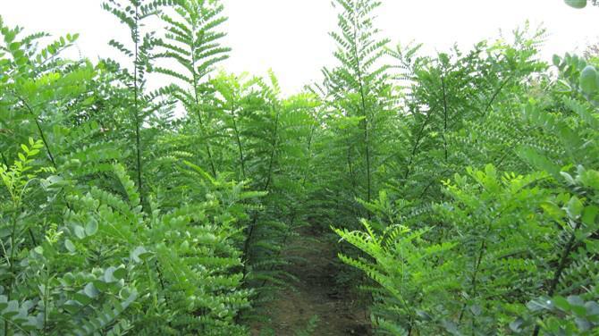 国槐定植的芽接桩6个月达到开割标准