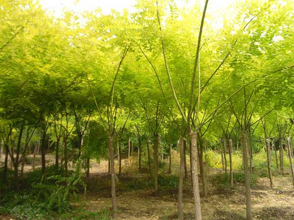 国槐树木蒸腾移植后要注意养护