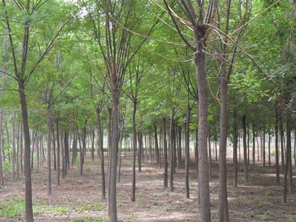 国槐苗木管理灌溉后要及时排水