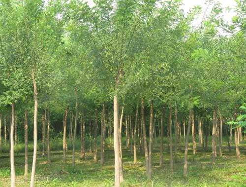 国槐有完整顶芽使根系和土壤紧接