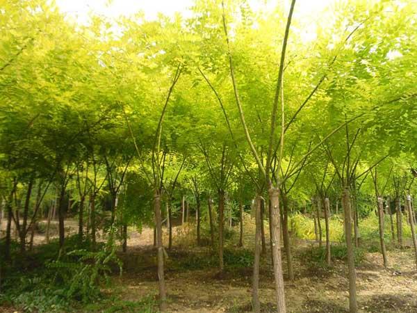 国槐播种结合浇水亩施使其快速生长