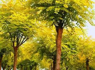 国槐树人工式植物整形公园
