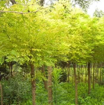 国槐苗木枝条充分伸展