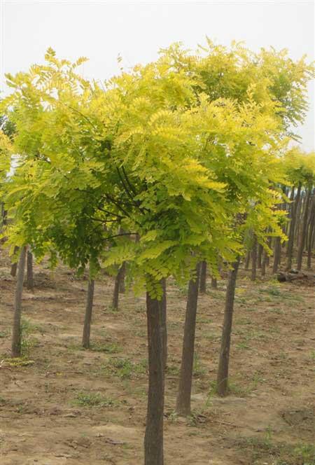 国槐苗木假植和贮藏