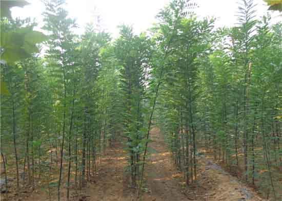 国槐苗木在高温时应采取降温措施