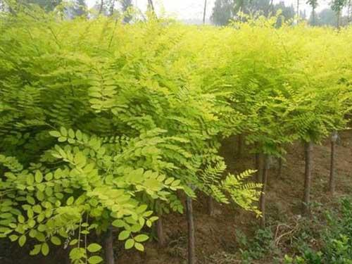 国槐嫩枝用于常绿花木树液流动前进行
