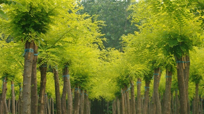 国槐植株施足底肥结合修剪进行疏芽