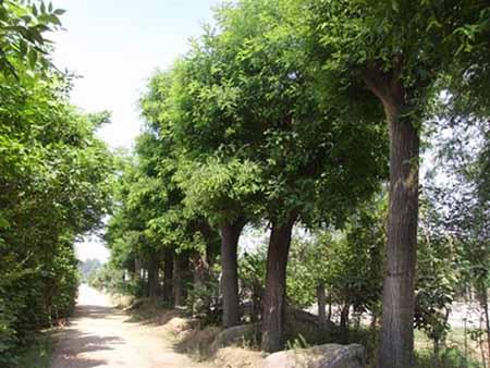 国槐大树移植技术枝叶开始萌芽生长