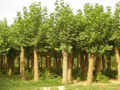 国槐起苗与包装树木成活与生长的重要工序