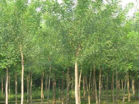 国槐树姿优美叶色鲜绿宜作绿化树种