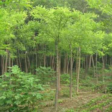 国槐针叶浓绿四季常青树姿古雅
