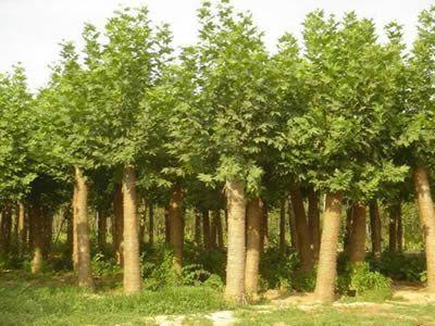国槐苗木栽培地撒过肥料后